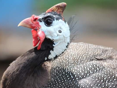 One of my guinea fowl