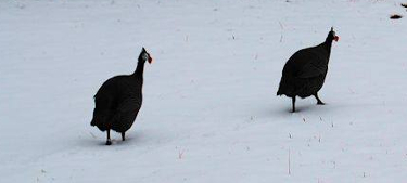 guinea ranging in the snow