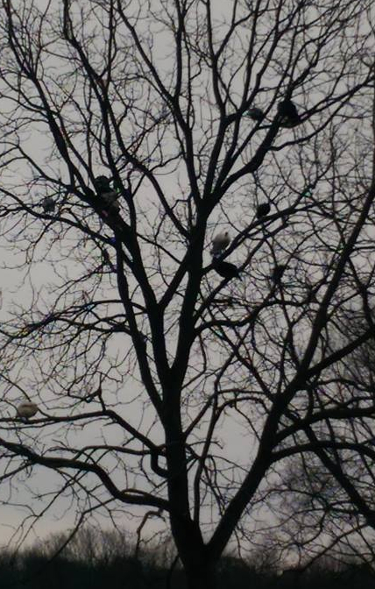 guineas roosting in the trees