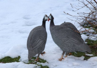 let guineas out inthe snow